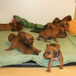 17days_puppies1