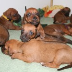 17days_puppies2