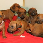 18days_puppies2
