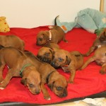 18days_puppies3