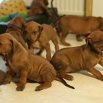 25days_puppies1