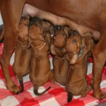 31days_puppies1