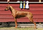 Mira 19,5 months old winning Best Bitch, BOS, CAC and CACIB in Tvååker