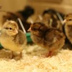 kycklingar1dag_6