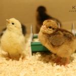 kycklingar1dag_7