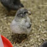 chickens2wks4