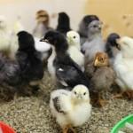 chickens2wks5