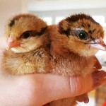 kycklingar_nykläckta1