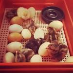 kycklingar_nykläckta
