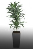 Dracaena white stripes