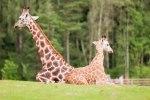 Små giraffer