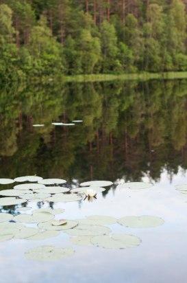 En sjö eller göl med en näckros.