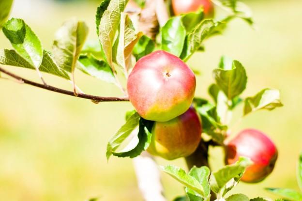 Äppelträd hos mamma och pappa.
