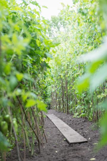 En djungel av tomatplantor