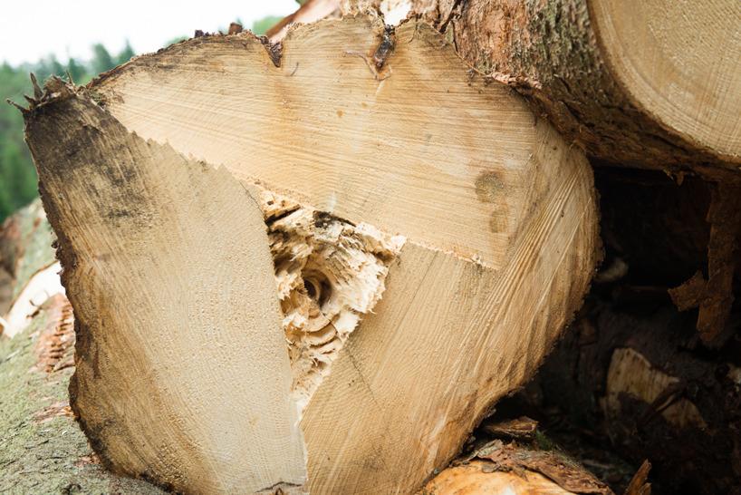 Den här stocken var en av de större träden. Sågad från både en, två och tre håll utan att komma igenom med svärdet.