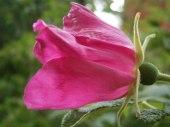 En ljuv doftande ros.. ett av livets små mirakel