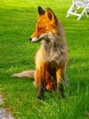 Det sägs att Einstein hade en räv bakom örat... men jag tror att det bara var en skröna. :-)