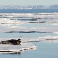Säl, Svalbard (Aug 2014)