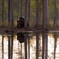 björn, Östra Finland (Sep 2015)