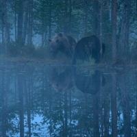 Björnar i gryningen, Östra Finland (Juli 2016)