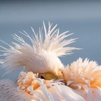 Rosa pelikan, Lake kerkini (mar 2020)