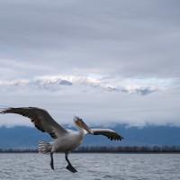 Krushuvad pelikan, Lake kerkini (mar 2020)