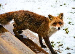 A little fox visited me today