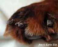 Deformerade klor har växt ut efter klolossning.