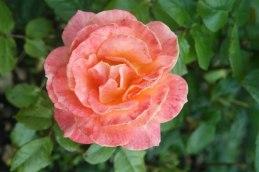 Danika rose
