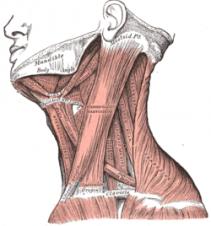 Muskeln syns längs hela sidan av halsen. (Bilden lånad från wikipedia.se)