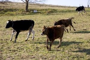 Detta är inte bild på gårdens kor...