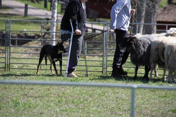 Ebbas första minut med fåren.