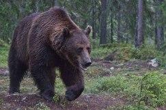 Foto från skogsgömslet. Här är björnen 5 meter från mig.