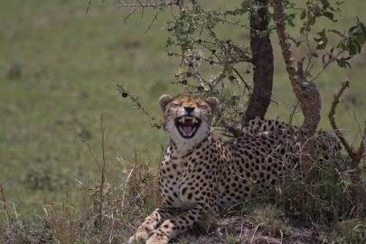 Geparden, världens snabbaste djur.