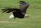 13 Rovfågel Bornholm-321