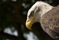 13 Rovfågel Bornholm-352