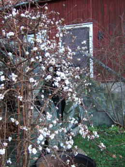 Blommande Olvon i december (2006).