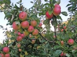 Mogna äpplen (sep 2005).