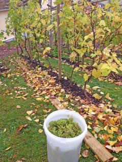 Druvorna avplockade i den nedre vingården.