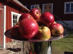 Fräscha Elise-äpplen i vårsolen.