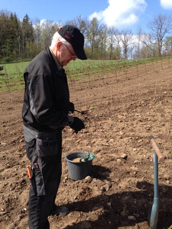 Rötterna beskärs före plantering.