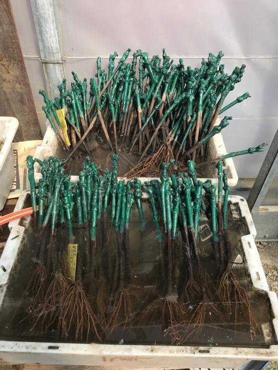Vinplantor redo för plantering.